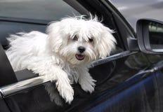 马耳他狗 免版税图库摄影
