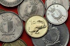 马耳他硬币  狡猾的人鼬nivalis 免版税库存图片