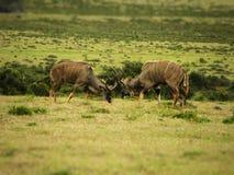 马背射击林羚的男性 库存图片