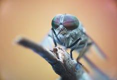 马蝇,宏指令,狂放 库存图片
