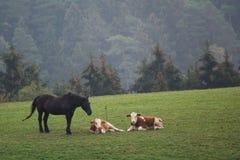 马被守卫的幼小母牛 免版税库存照片