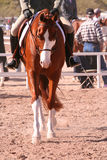 马被绘的显示 免版税库存照片