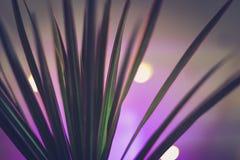 马达加斯加与霓虹灯和bokeh的龙血树室内植物 免版税库存照片