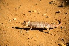 马达加斯加人的巨型变色蜥蜴,最大的变色蜥蜴的Furcifer oustaleti一,生长70 cm,保留Ankarana,马达加斯加 免版税图库摄影