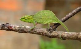 马达加斯加人的巨型变色蜥蜴 库存照片