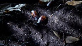 马达加斯加发出嘘声的蟑螂在夜森林万圣节背景中 股票视频