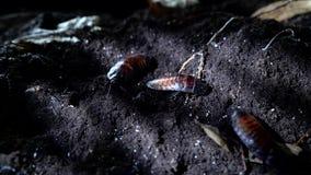 马达加斯加发出嘘声的蟑螂在夜森林万圣节背景中 影视素材