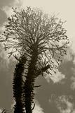 马达加斯加在黑白的蜡烛木花 图库摄影