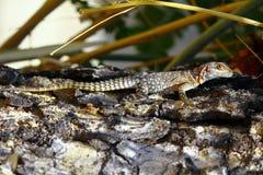 马达加斯加多刺的被盯梢的或抓住衣领口的蜥蜴(Oplurus cuvieri) 图库摄影