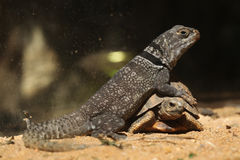 马达加斯加多刺盯梢了鬣鳞蜥(Oplurus cuvieri)和蜘蛛侵权行为 免版税库存图片