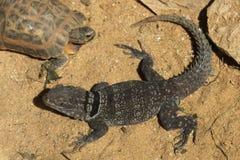 马达加斯加多刺盯梢了鬣鳞蜥(Oplurus cuvieri),亦称马达加斯加抓住衣领口的蜥蜴 图库摄影