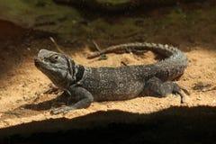 马达加斯加多刺盯梢了鬣鳞蜥(Oplurus cuvieri) 免版税库存图片