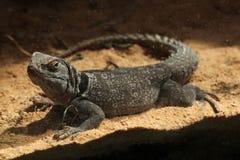 马达加斯加多刺盯梢了鬣鳞蜥& x28; Oplurus cuvieri& x29; 库存照片