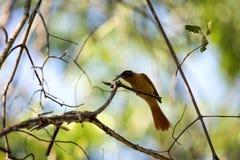 马达加斯加天堂捕蝇器, Terpsiphone mutata,捉住了一只蝉,保留Tsingy, Ankarana,马达加斯加 库存图片