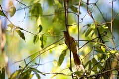 马达加斯加天堂捕蝇器, Terpsiphone mutata,捉住了一只蝉,保留Tsingy, Ankarana,马达加斯加 免版税库存照片