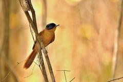 马达加斯加天堂捕蝇器, Terpsiphone mutata,有美好的蓝色颜色在眼睛附近,储备Tsingy Ankarana,马达加斯加 免版税库存照片