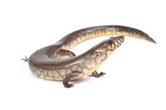 马达加斯加巨型waterskink (Amphiglossus reticulatus) 库存照片