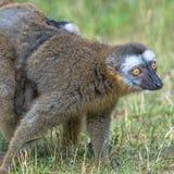 马达加斯加狐猴画象和它的后面的一个婴孩 免版税图库摄影