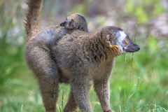 马达加斯加狐猴画象和它的后面的一个婴孩 库存图片