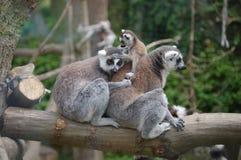 马达加斯加狐猴 免版税库存照片