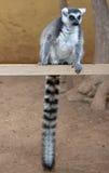 马达加斯加环纹尾的狐猴 免版税库存照片