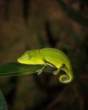 马达加斯加的五颜六色的变色蜥蜴 库存照片