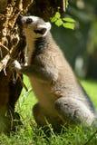 马达加斯加的狐猴 图库摄影