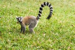 马达加斯加的狐猴catta 免版税库存图片