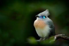 从马达加斯加的鸟 有顶饰Couna, Coua cristata,罕见的灰色和蓝色鸟与冠,在自然栖所 Couca坐增殖比 库存图片