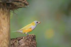 马达加斯加的鸟 库存图片