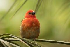 马达加斯加红色fody鸟 库存图片