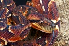 马达加斯加结构树蟒蛇 免版税库存图片