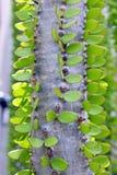 马达加斯加蜡烛木,叶子特写镜头 库存图片