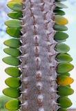 马达加斯加蜡烛木,叶子特写镜头 免版税库存图片