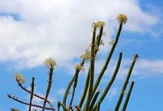 马达加斯加蜡烛木, Alluaudia procera,仙人掌 图库摄影