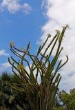 马达加斯加蜡烛木, Alluaudia procera,仙人掌 免版税库存照片