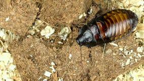 马达加斯加蟑螂从一个角落爬行到其他 关闭 慢的行动 在视图之上 股票视频