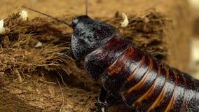 马达加斯加蟑螂在地面上爬行 关闭 股票录像