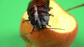马达加斯加蟑螂坐苹果并且吃它 绿色屏幕 关闭 股票视频
