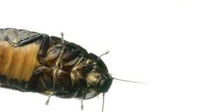 马达加斯加蟑螂奔跑 奶油被装载的饼干 底视图 慢的行动 影视素材