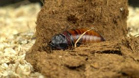 马达加斯加蟑螂渐增音量锯木屑关闭  黑色背景 影视素材