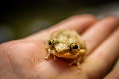 马达加斯加青蛙 免版税库存图片