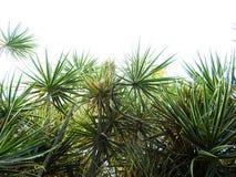 马达加斯加龙血树有被隔绝的白色背景 免版税库存图片
