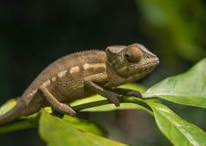 马达加斯加,非常浅焦点的五颜六色的变色蜥蜴 免版税库存图片