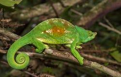 马达加斯加,非常浅焦点的五颜六色的变色蜥蜴 免版税库存照片