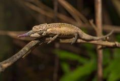 马达加斯加,非常浅焦点的五颜六色的变色蜥蜴 库存图片