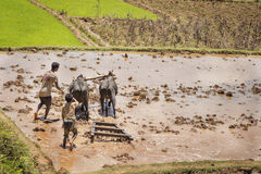 马达加斯加- 2015年10月23日:收获泥泞的米的男孩和封牛在一热的天调遣在马达加斯加 免版税库存图片