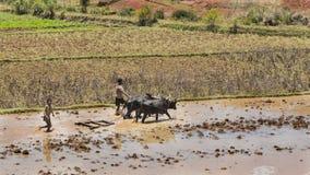 马达加斯加- 2015年10月23日:收获泥泞的米的男孩和封牛在一热的天调遣在马达加斯加 库存照片