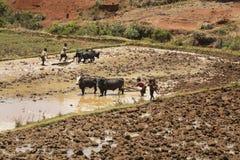 马达加斯加- 2015年10月23日:收获泥泞的米的男孩和封牛在一热的天调遣在马达加斯加 图库摄影