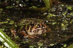 马达加斯加Marbeled跳跃者青蛙 库存照片